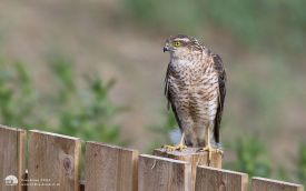 Sparrowhawk at Etherley Moor, 27th June 2016