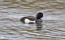 Tufted Duck at Low Barns, 1st May 2016