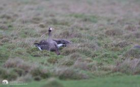 White-fronted Goose on Seaton Cpmmon, 1st January 2012