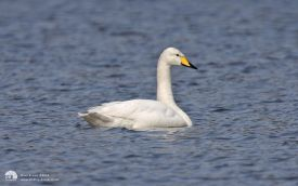 Whooper Swan at Escomb, 5th April 2009