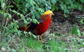 Golden Pheasant at Bamburgh, 15th October 2006