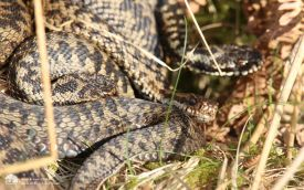 Adder at Teesdale, 8th April 2015