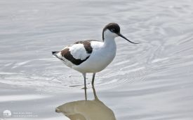 Avocet at Titchwell, 21st June 2016