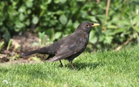 Blackbird at Etherley Moor, 9th April 2017