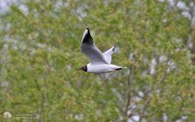 Black-headed Gull at Escomb, 7th May 2017