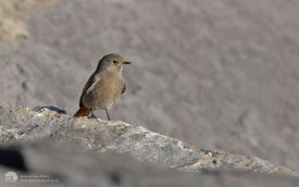 Black Redstart at Newburn Bridge, 19th January 2012