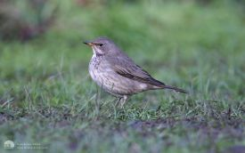 Black-throated Thrush at Newholm, 17th January 2010