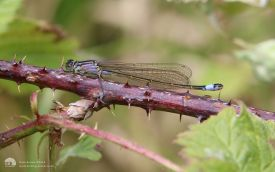 Blue-tailed Damselfly at Dormans, 13th June 2015