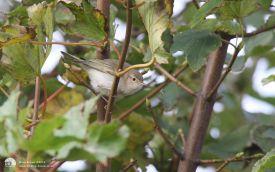 Western Bonelli's Warbler at Hartlepool Headland, 15th October 2013