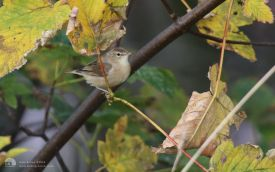 Booted Warbler at Torness, 12th October 2014