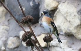 Brambling at Hartlepool Headland, 29th October 2015