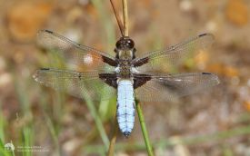 Broad-bodied Chaser at Holt, 12th June 2014
