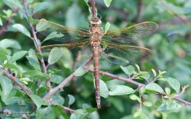 Brown Hawker at Escomb, 12th July 2017