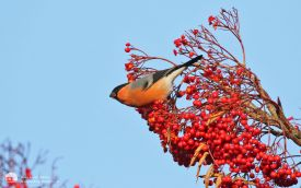 Bullfinch at High Shincliffe, 19th November 2016