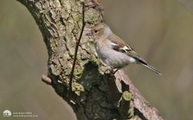 Chaffinch at Low Barns, 9th May 2015