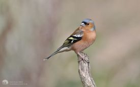 Chaffinch at Low Barns, 26th February 2017