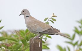 Collared Dove at Etherley Moor, 4th July 2012