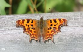 Comma at Low Barns, 2nd July 2009