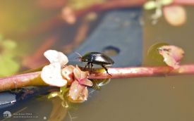 Common Black Diving Beetle at Etherley Moor, 29th August 2016
