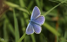 Common Blue at Workington, 3rd June 2017