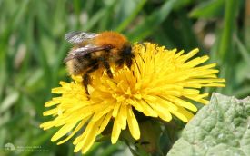 Common Carder Bee at Bishops Park, 8th May 2006