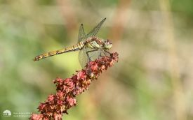 Common Darter at Low Barns, 6th August 2016