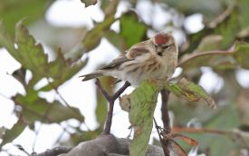 Common Redpoll at Hartlepool Headland, 15th October 2013