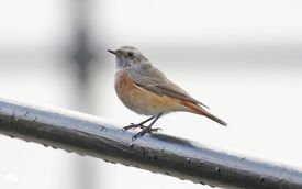 Common Redstart at Hartlepool Headland, 15th October 2016