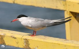 Common Tern at South Shields, 23rd July 2006