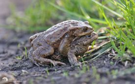 Common Toad at Escomb, 25th March 2012