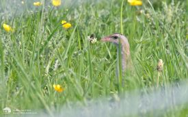 Corncrake on Iona, 28th May 2012
