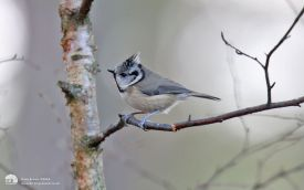 Crested Tit at Loch Garten, 11th January 2014