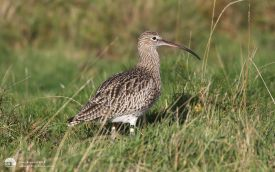 Curlew at Seaton Common, 17th October 2015
