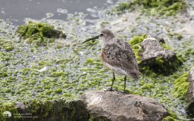 Curlew Sandpiper at Tidal Pool, 14th August 2013