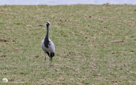 Demoiselle Crane at Mockerkintarn, 19th March 2016