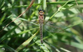 Hairy Dragonfly at Hickling Broad, 20th May 2017