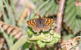 Duke of Burgundy in North Yorkshire, 14th May 2017