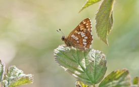Duke of Burgundy an North Yorkshire, 18th May 2014