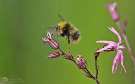 Early Bee at Etherley Moor, 28th May 2017