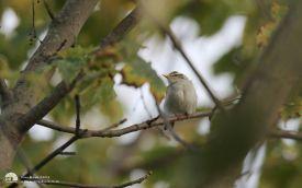 Eastern-crowned Warbler at Brotton, 1st November 2014
