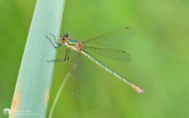 Emerald Damselfly at Hamsterley, 19th July 2015