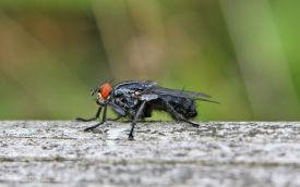 Flesh Fly at Low Barns, 2nd July 2009