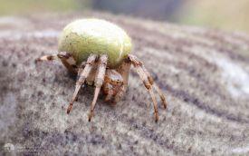 Four-spot Weaver Spider at Kilnsea, 21st September 2014
