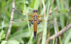 Four-spotted Chaser at Dormans, 28th May 2016