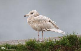 Glaucous Gull at Hartlepool Headland, 3rd January 2015