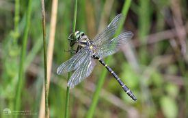 Golden-ringed Dragonfly at Fen Bog, 16th July 2017