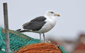 Great Black-backed Gull at Hartlepool Headland, 1st January 2012
