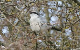 Great Grey Shrike at Stanhope, 30th March 2015