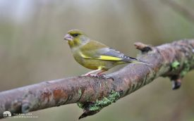 Greenfinch at Saltholme, 20th November 2016