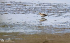 Green Sandpiper at Saltholme, 9th August 2014